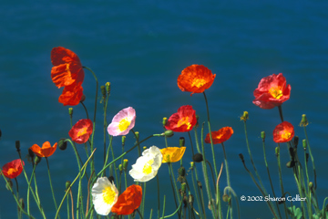 Iceland Poppies at Montreaux