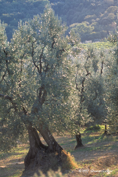 Olive Grove of Tuscany