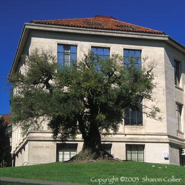 Ancient Olive Tree - Giannini