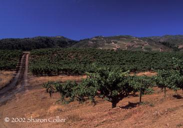 Monte Rosso Vine