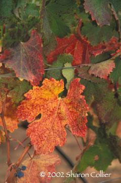 Autumn Grapeleaves