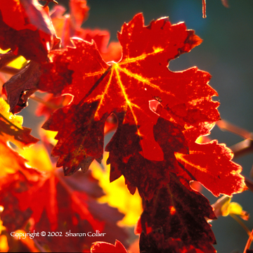 Winter Grape Leaves