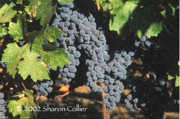 Niebaum-Coppola Vines