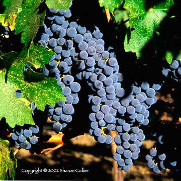 Grapes at Niebaum-Coppola