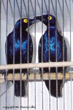 Lovebirds of Paris