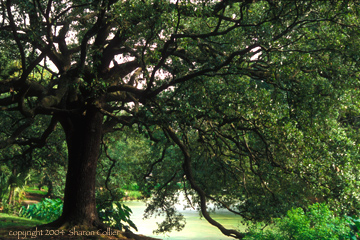 Ancient Oak Tree of New Orleans