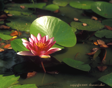 Water Lily at Oak Alley