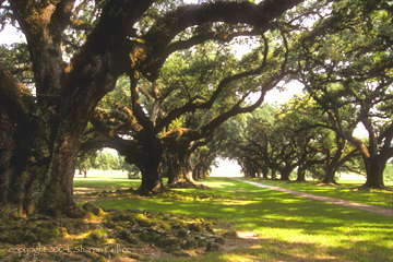 Oak Trees of Oak Alley