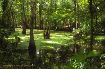 Swamp of New Orleans