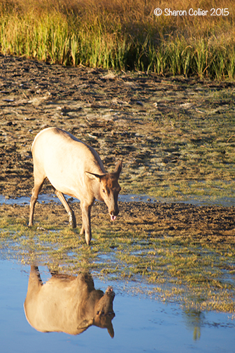 Reflection of Elk at Yellowstone River