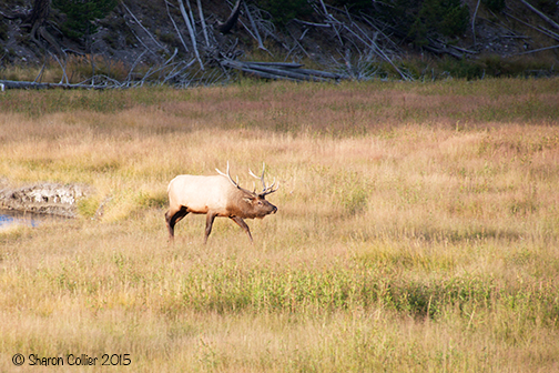Elk on the Hunt at Yellowstone