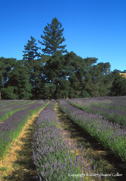Lavender Field at Harvest Time