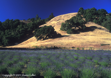 Lavender Field in the California Mountains