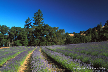 Boonville Lavender Field