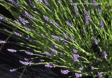 Close-up on Lavender Flowers