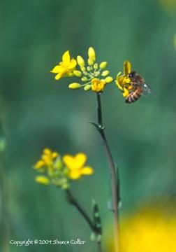 Honey Bee in the Mustard
