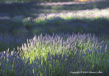 Lavender at Twilight