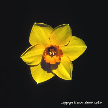 Daffodil Face