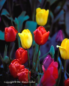Multi-Color Tulips