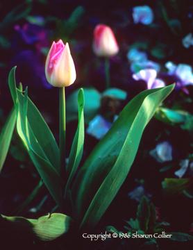 Giverny Tulip