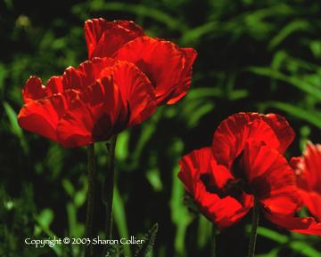 Santa Fe Poppies