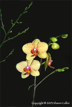Orchid Flower in the Moonlight