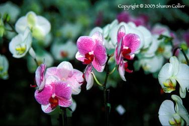 Orchids at Kew Gardens, London