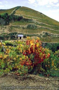 Hermitage Vine