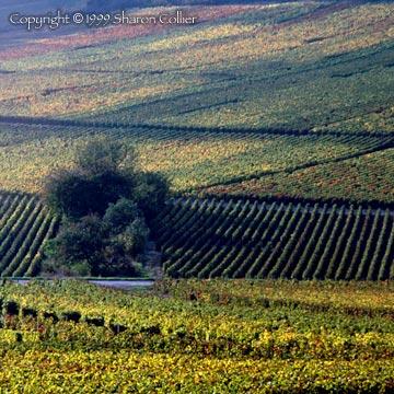 Monthelie Vineyard at Harvest