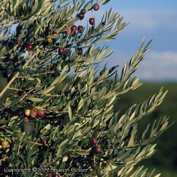 Olives at Harvest
